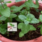 How to grow mint (from a cutting)
