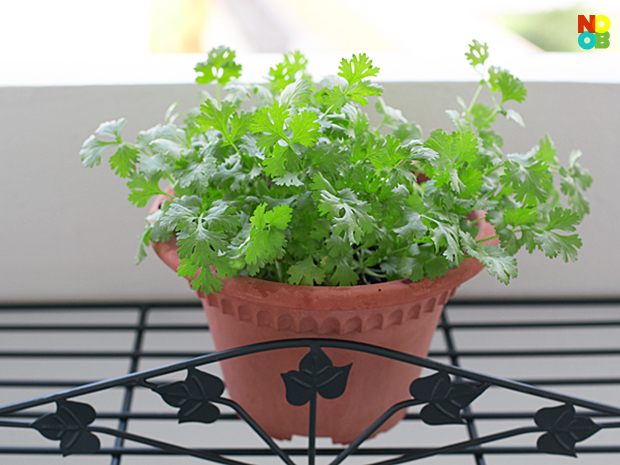 home-grown coriander